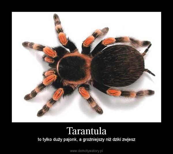 Tarantula – to tylko duży pajonk, a groźniejszy niż dziki zwjesz