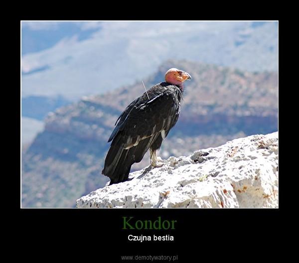 Kondor – Czujna bestia