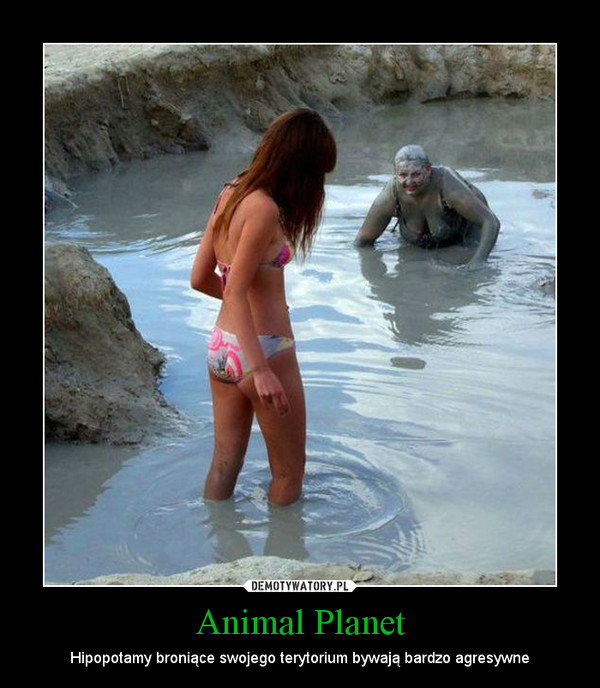 Animal Planet – Hipopotamy broniące swojego terytorium bywają bardzo agresywne