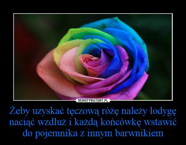 Żeby uzyskać tęczową różę należy łodygę naciąć wzdłuż i każdą końcówkę wstawić do pojemnika z innym barwnikiem –