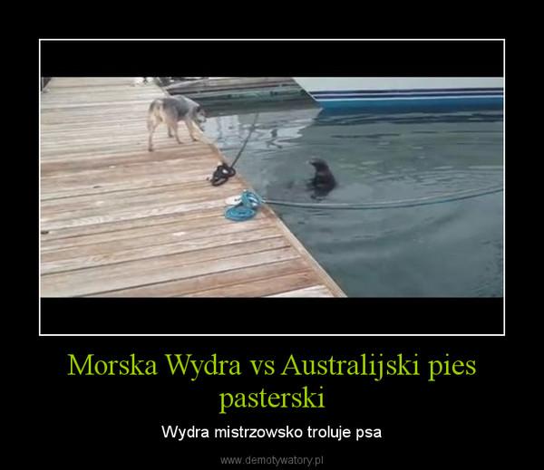 Morska Wydra vs Australijski pies pasterski – Wydra mistrzowsko troluje psa