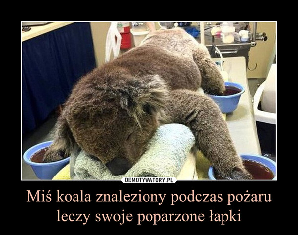 Miś koala znaleziony podczas pożaru leczy swoje poparzone łapki –