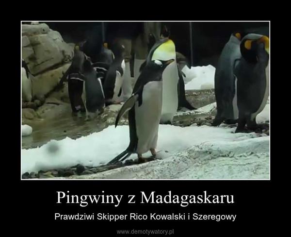 Pingwiny z Madagaskaru – Prawdziwi Skipper Rico Kowalski i Szeregowy