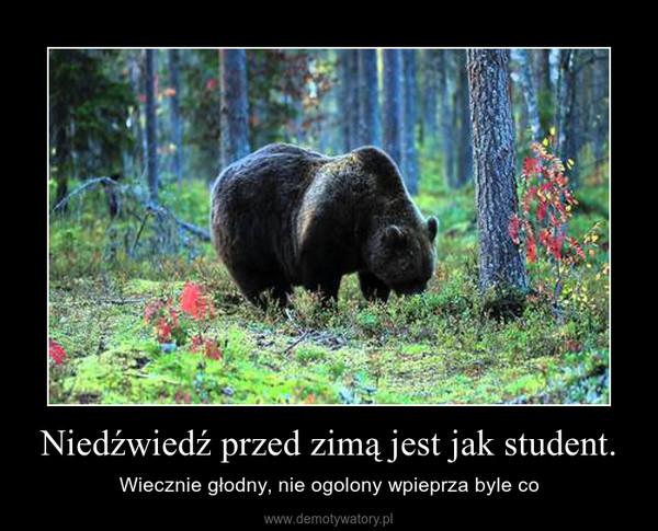 Niedźwiedź przed zimą jest jak student. – Wiecznie głodny, nie ogolony wpieprza byle co