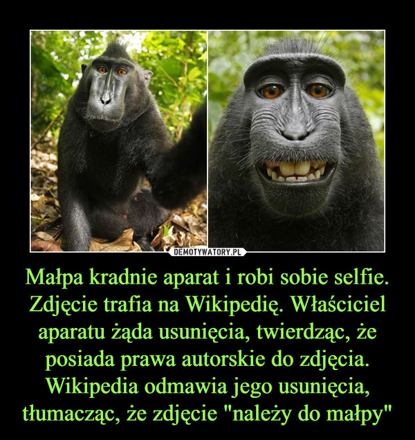 """Małpa kradnie aparat i robi sobie selfie. Zdjęcie trafia na Wikipedię. Właściciel aparatu żąda usunięcia, twierdząc, że posiada prawa autorskie do zdjęcia. Wikipedia odmawia jego usunięcia, tłumacząc, że zdjęcie """"należy do małpy"""" –"""