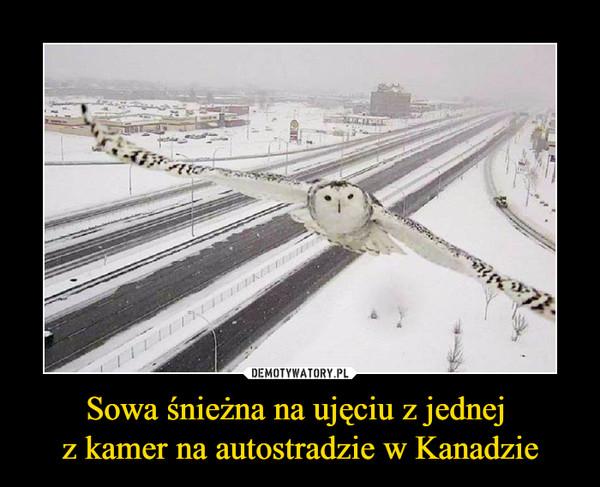 Sowa śnieżna na ujęciu z jednej z kamer na autostradzie w Kanadzie –