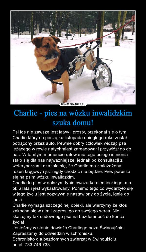 Charlie - pies na wózku inwalidzkim szuka domu! – Psi los nie zawsze jest łatwy i prosty, przekonał się o tym Charlie który na początku listopada ubiegłego roku został potrącony przez auto. Pewnie dobry człowiek widząc psa leżącego w rowie natychmiast zareagował i przywiózł go do nas. W tamtym momencie ratowanie tego psiego istnienia stało się dla nas najważniejsze, jednak po konsultacji z weterynarzami okazało się, że Charlie ma zmiażdżony rdzeń kręgowy i już nigdy chodzić nie będzie. Pies porusza się na psim wózku inwalidzkim.Charlie to pies w dalszym typie owczarka niemieckiego, ma ok.6 lata i jest wykastrowany. Pomimo tego co wydarzyło się w jego życiu jest pozytywnie nastawiony do życia, lgnie do ludzi. Charlie wymaga szczególnej opieki, ale wierzymy że ktoś zakocha się w nim i zaprosi go do swojego serca. Nie skazujmy tak cudownego psa na bezdomność do końca życia!Jesteśmy w stanie dowieźć Charliego poza Świnoujście.Zapraszamy do odwiedzin w schronisku.Schronisko dla bezdomnych zwierząt w Świnoujściunr.tel: 733 746 733