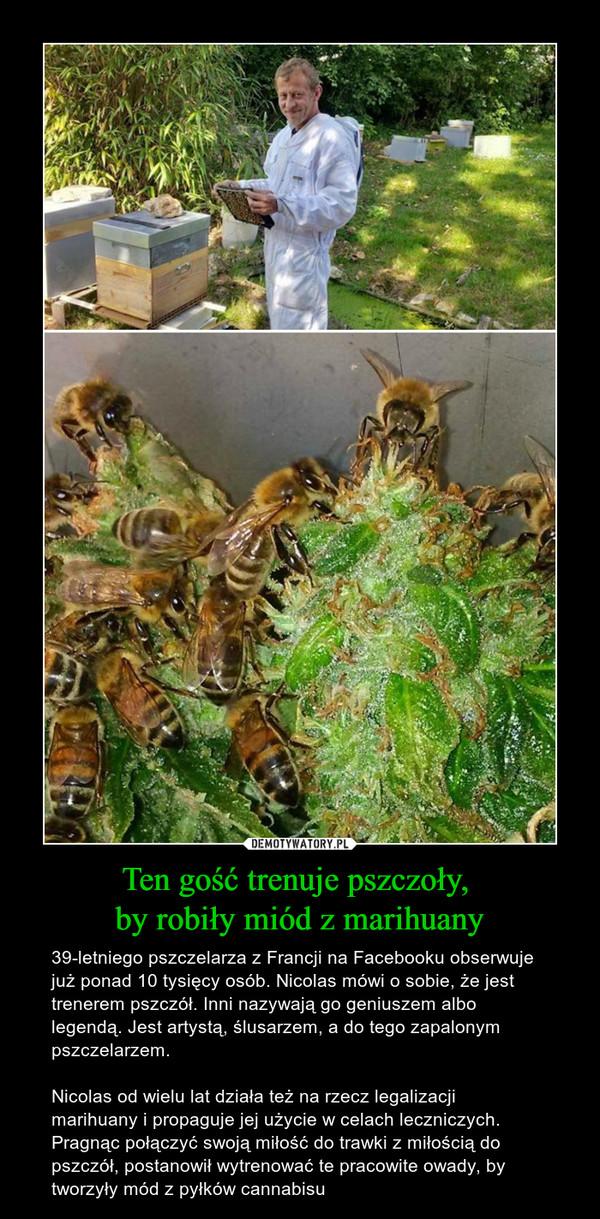Ten gość trenuje pszczoły, by robiły miód z marihuany – 39-letniego pszczelarza z Francji na Facebooku obserwuje już ponad 10 tysięcy osób. Nicolas mówi o sobie, że jest trenerem pszczół. Inni nazywają go geniuszem albo legendą. Jest artystą, ślusarzem, a do tego zapalonym pszczelarzem.Nicolas od wielu lat działa też na rzecz legalizacji marihuany i propaguje jej użycie w celach leczniczych.Pragnąc połączyć swoją miłość do trawki z miłością do pszczół, postanowił wytrenować te pracowite owady, by tworzyły mód z pyłków cannabisu