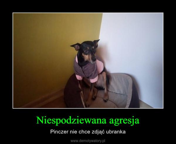 Niespodziewana agresja – Pinczer nie chce zdjąć ubranka