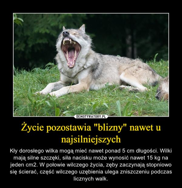 """Życie pozostawia """"blizny"""" nawet u najsilniejszych – Kły dorosłego wilka mogą mieć nawet ponad 5 cm długości. Wilki mają silne szczęki, siła nacisku może wynosić nawet 15 kg na jeden cm2. W połowie wilczego życia, zęby zaczynają stopniowo się ścierać, część wilczego uzębienia ulega zniszczeniu podczas licznych walk."""
