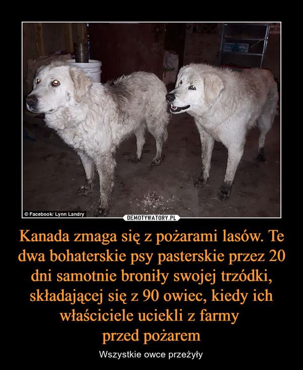 Kanada zmaga się z pożarami lasów. Te dwa bohaterskie psy pasterskie przez 20 dni samotnie broniły swojej trzódki, składającej się z 90 owiec, kiedy ich właściciele uciekli z farmy przed pożarem – Wszystkie owce przeżyły