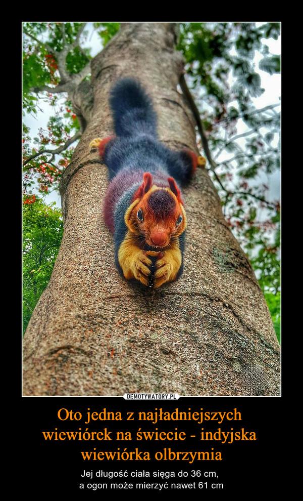 Oto jedna z najładniejszych wiewiórek na świecie - indyjska wiewiórka olbrzymia – Jej długość ciała sięga do 36 cm, a ogon może mierzyć nawet 61 cm