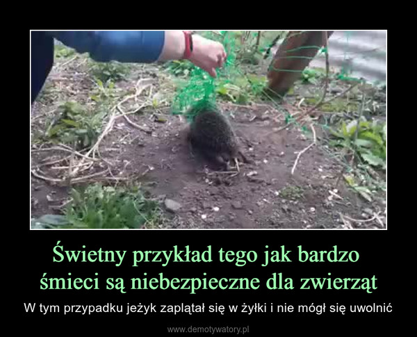 Świetny przykład tego jak bardzo śmieci są niebezpieczne dla zwierząt – W tym przypadku jeżyk zaplątał się w żyłki i nie mógł się uwolnić