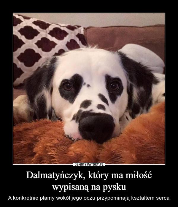Dalmatyńczyk, który ma miłość wypisaną na pysku – A konkretnie plamy wokół jego oczu przypominają kształtem serca