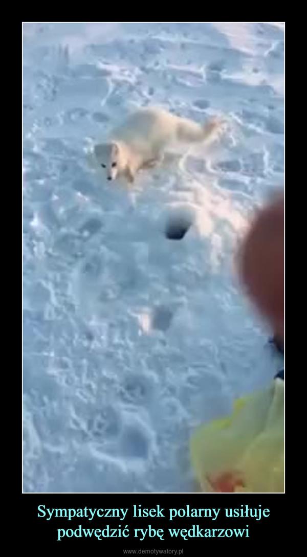 Sympatyczny lisek polarny usiłuje podwędzić rybę wędkarzowi –