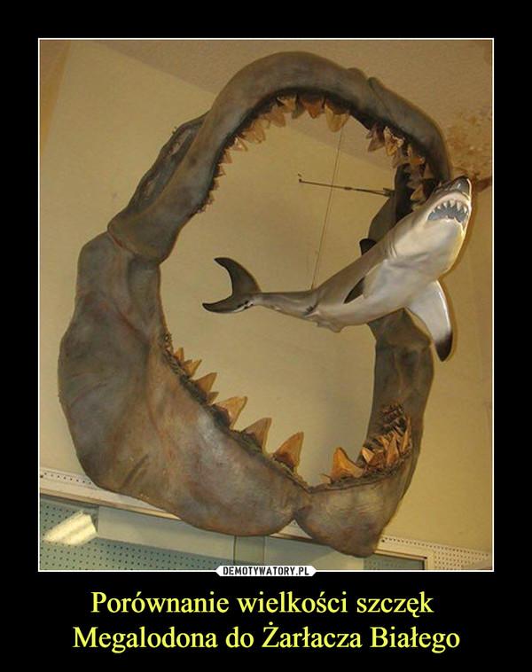 Porównanie wielkości szczęk Megalodona do Żarłacza Białego –