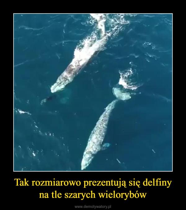 Tak rozmiarowo prezentują się delfiny na tle szarych wielorybów –