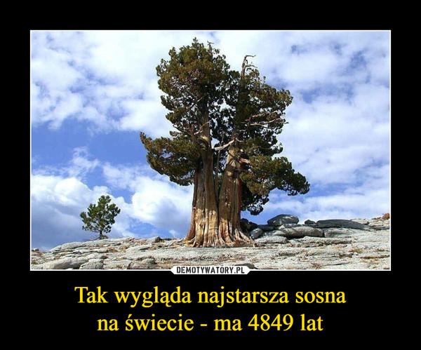Tak wygląda najstarsza sosnana świecie - ma 4849 lat –