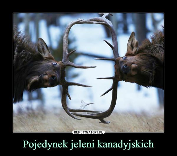 Pojedynek jeleni kanadyjskich –