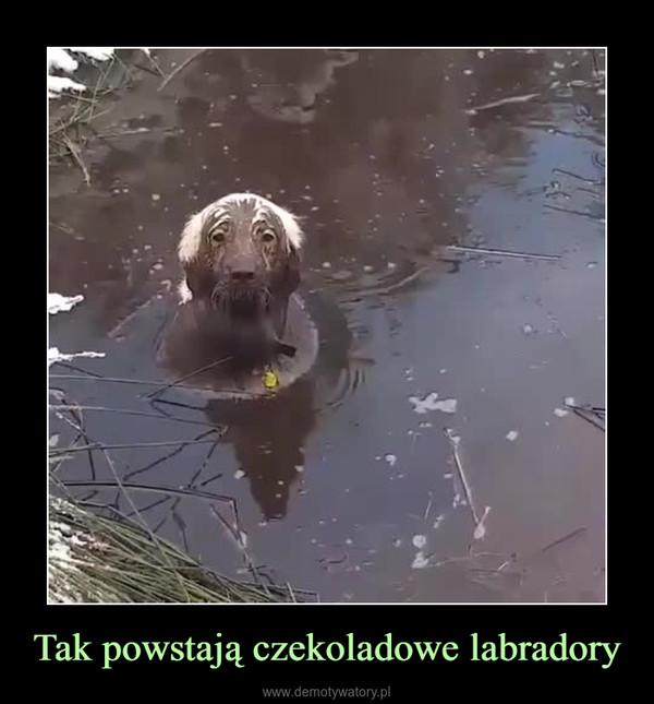 Tak powstają czekoladowe labradory –