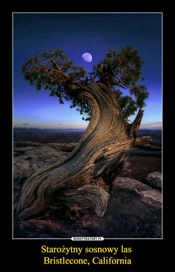 Starożytny sosnowy las Bristlecone, California –