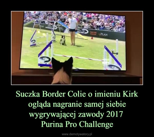 Suczka Border Colie o imieniu Kirk ogląda nagranie samej siebie wygrywającej zawody 2017 Purina Pro Challenge –