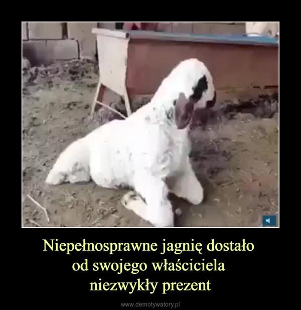 Niepełnosprawne jagnię dostało od swojego właściciela niezwykły prezent –