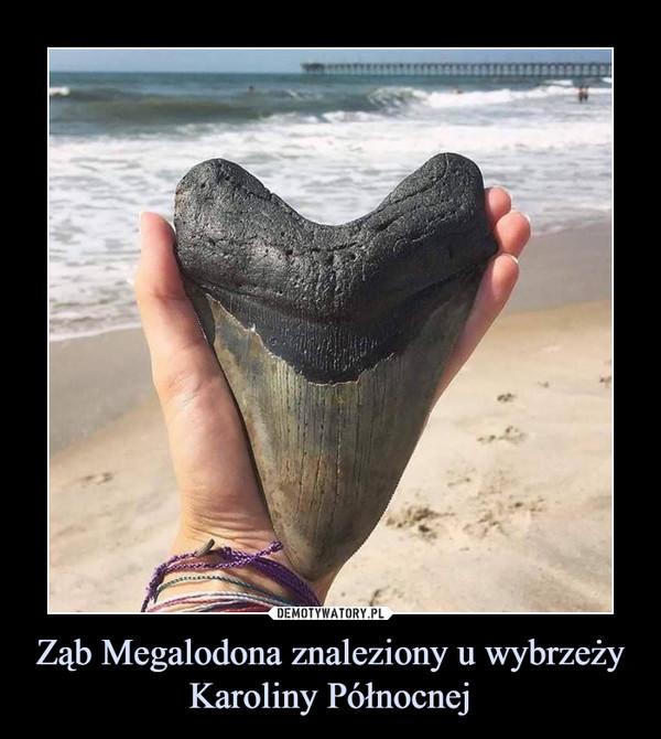 Ząb Megalodona znaleziony u wybrzeży Karoliny Północnej –