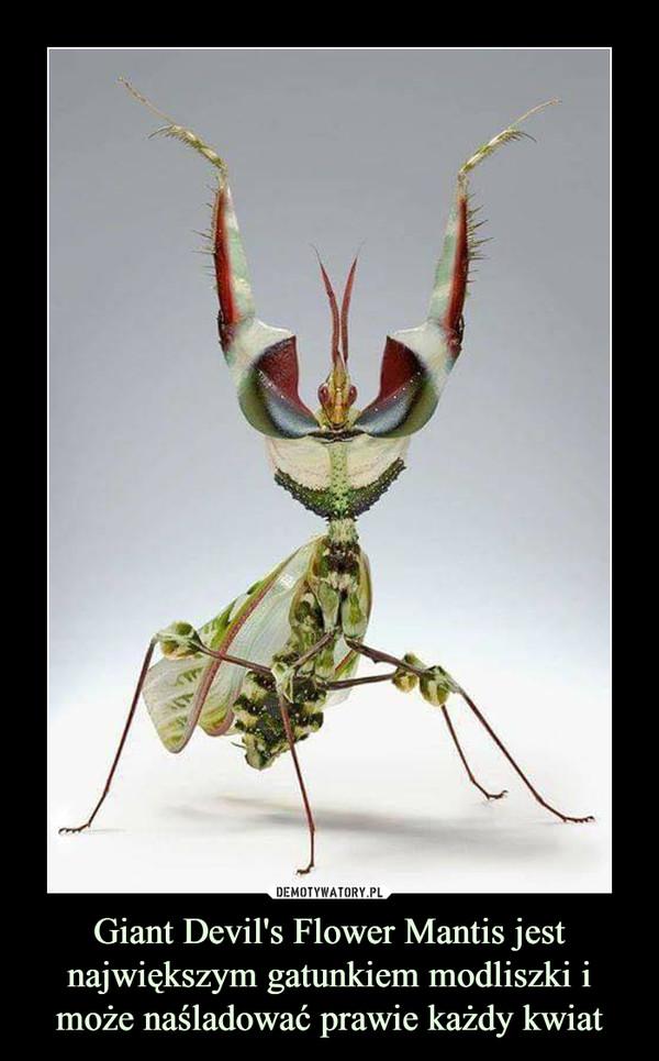Giant Devil's Flower Mantis jest największym gatunkiem modliszki i może naśladować prawie każdy kwiat –