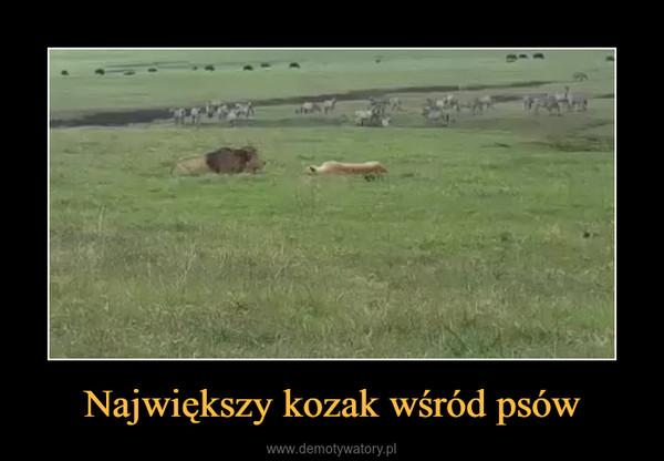 Największy kozak wśród psów –