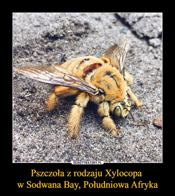 Pszczoła z rodzaju Xylocopa w Sodwana Bay, Południowa Afryka –