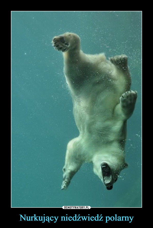 Nurkujący niedźwiedź polarny –