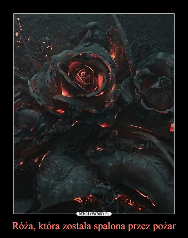 Róża, która została spalona przez pożar –