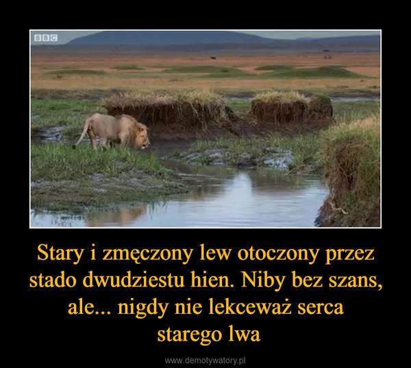 Stary i zmęczony lew otoczony przez stado dwudziestu hien. Niby bez szans, ale... nigdy nie lekceważ serca starego lwa –
