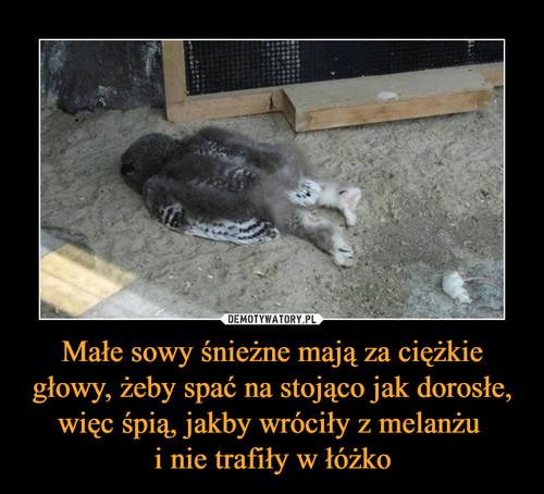 Małe sowy śnieżne mają za ciężkie głowy, żeby spać na stojąco jak dorosłe, więc śpią, jakby wróciły z melanżu  i nie trafiły w łóżko