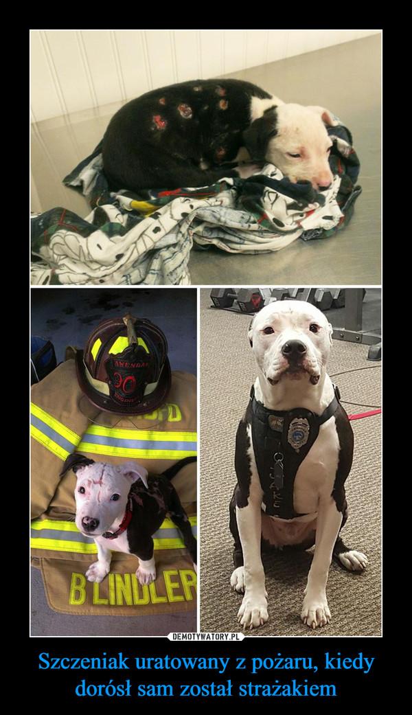 Szczeniak uratowany z pożaru, kiedy dorósł sam został strażakiem –