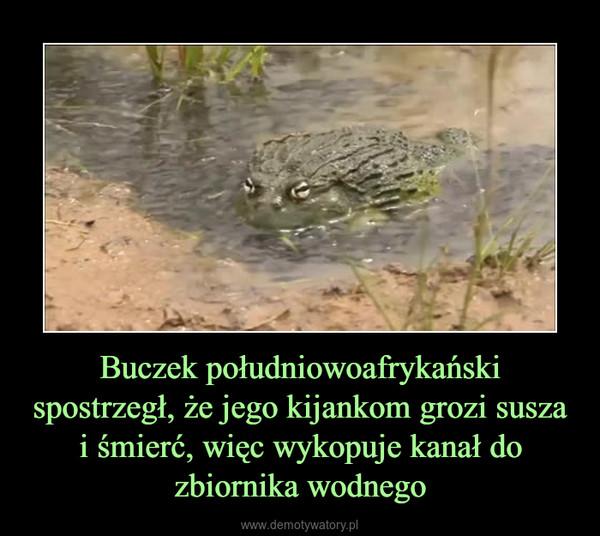 Buczek południowoafrykański spostrzegł, że jego kijankom grozi susza i śmierć, więc wykopuje kanał do zbiornika wodnego –