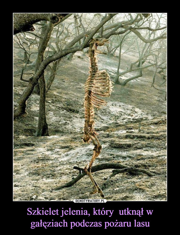 Szkielet jelenia, który  utknął w gałęziach podczas pożaru lasu –