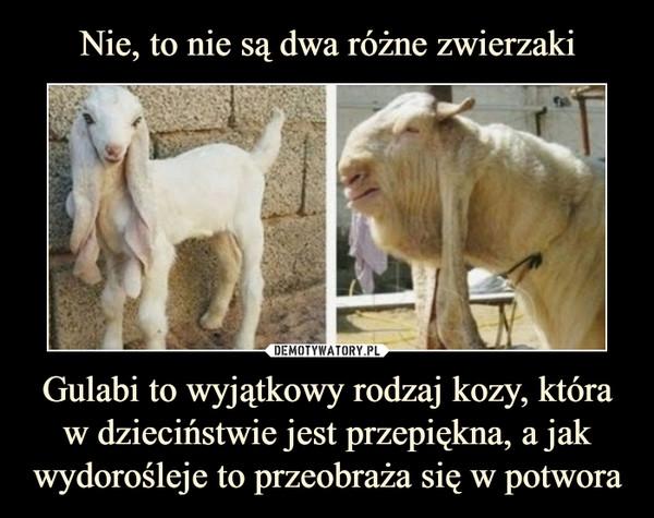 Gulabi to wyjątkowy rodzaj kozy, która w dzieciństwie jest przepiękna, a jak wydorośleje to przeobraża się w potwora –