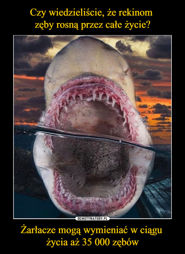 Żarłacze mogą wymieniać w ciągu życia aż 35 000 zębów –