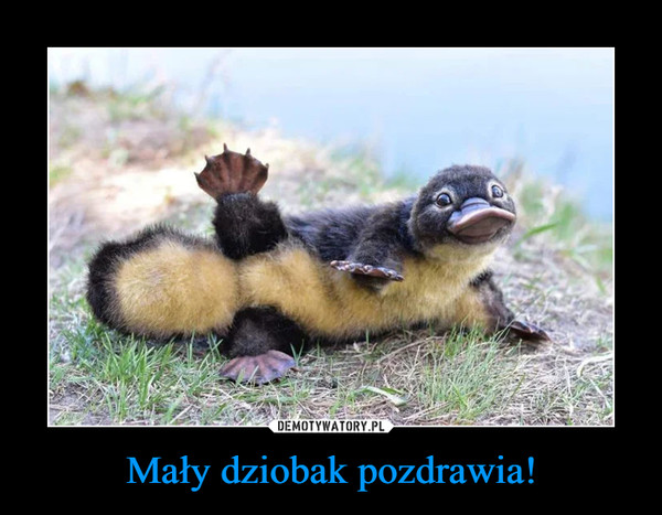 Mały dziobak pozdrawia! –