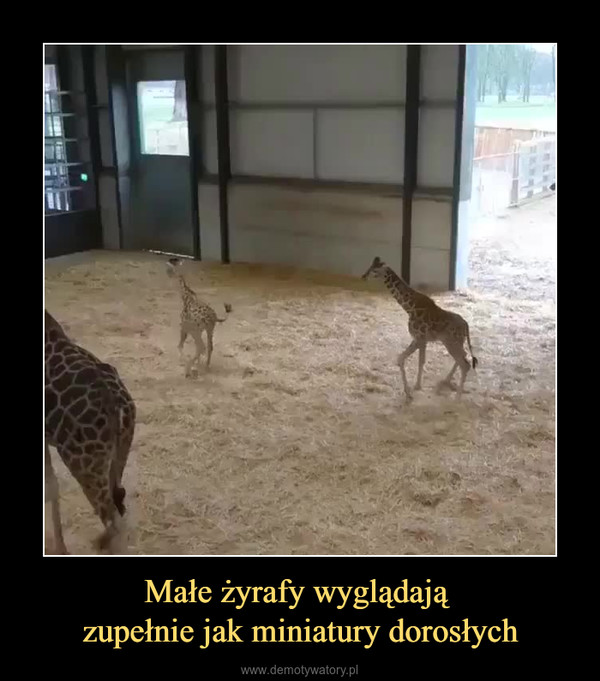 Małe żyrafy wyglądają zupełnie jak miniatury dorosłych –