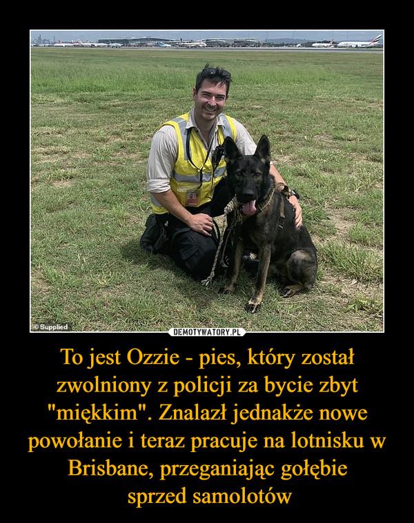 """To jest Ozzie - pies, który został zwolniony z policji za bycie zbyt """"miękkim"""". Znalazł jednakże nowe powołanie i teraz pracuje na lotnisku w Brisbane, przeganiając gołębie sprzed samolotów –"""