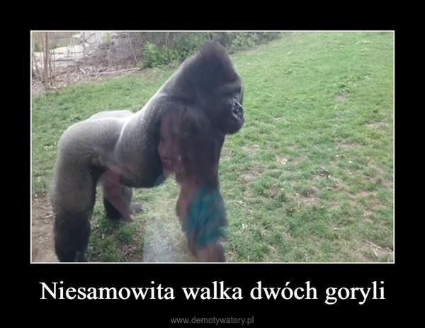 Niesamowita walka dwóch goryli –