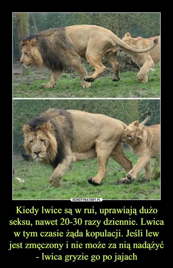 Kiedy lwice są w rui, uprawiają dużo seksu, nawet 20-30 razy dziennie. Lwica w tym czasie żąda kopulacji. Jeśli lew jest zmęczony i nie może za nią nadążyć - lwica gryzie go po jajach –