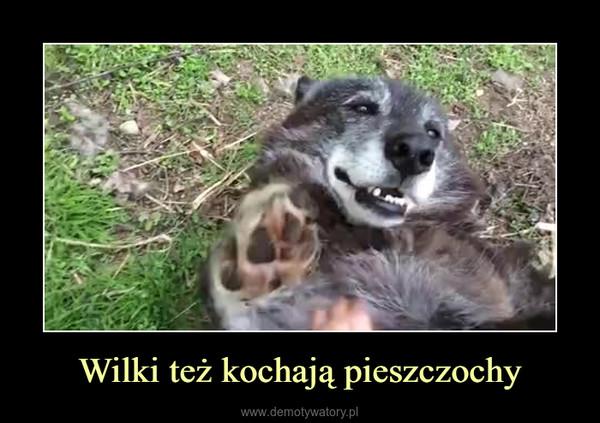 Wilki też kochają pieszczochy –
