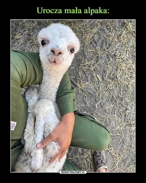 Urocza mała alpaka: