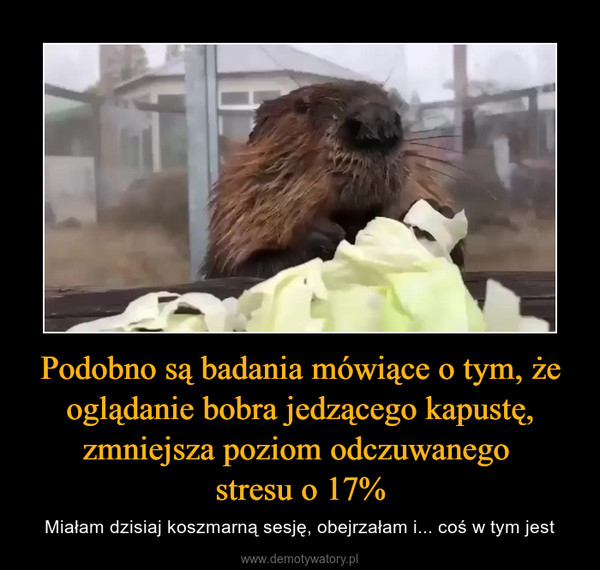 Podobno są badania mówiące o tym, że oglądanie bobra jedzącego kapustę, zmniejsza poziom odczuwanego stresu o 17% – Miałam dzisiaj koszmarną sesję, obejrzałam i... coś w tym jest