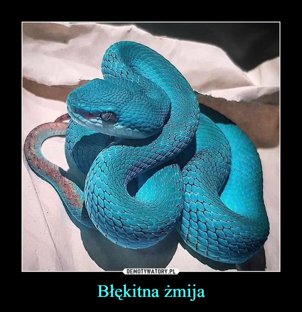 Błękitna żmija –