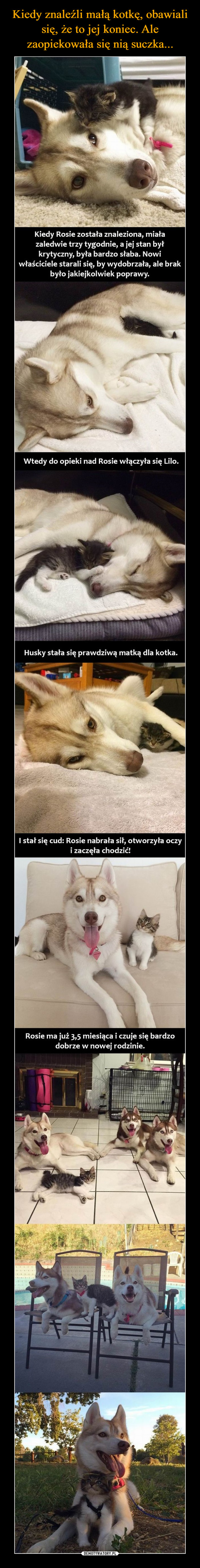 –  Kiedy Rosie została znaleziona, miałazaledwie trzy tygodnie, a jej stan byłkrytyczny, była bardzo słaba. Nowiwłaściciele starali się, by wydobrzała, ale brakbyło jakiejkolwiek poprawy.Wtedy do opieki nad Rosie włączyła się Lilo.Husky stała się prawdziwą matką dla kotka.I stał się cud: Rosie nabrała sił, otworzyła oczyi zaczęła chodzić!Rosie ma już 3,5 miesiąca i czuje się bardzodobrze w nowej rodzinie.